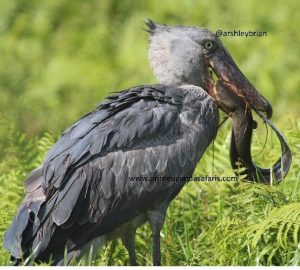 The Rewarding Makanaga Bay Swamp; Shoebill Stork birding spot-Uganda Safari News