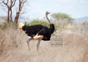 The only place to find the Ostrich in Uganda-Uganda Safari News