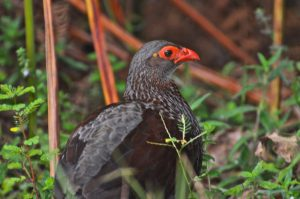 The Handsome Francolin