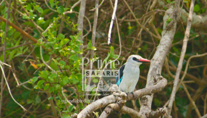 24 Days Classic Uganda Birding Safari