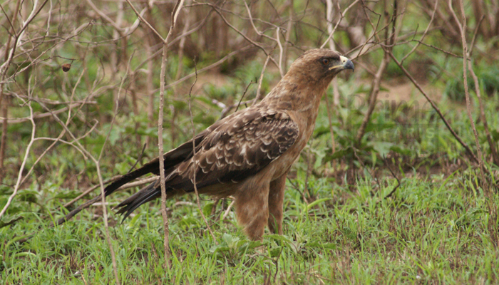 7 Days Uganda Birding Trip