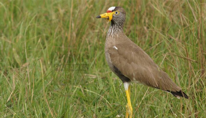 18 Days birding Uganda