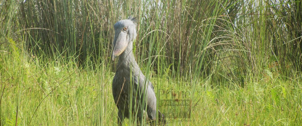 Uganda Birding Safaris - ShoeBill
