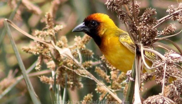 22 Days Uganda Rwanda Birding Tour