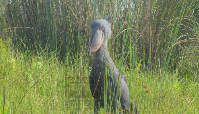 2 Days Mabamba Birding Tour