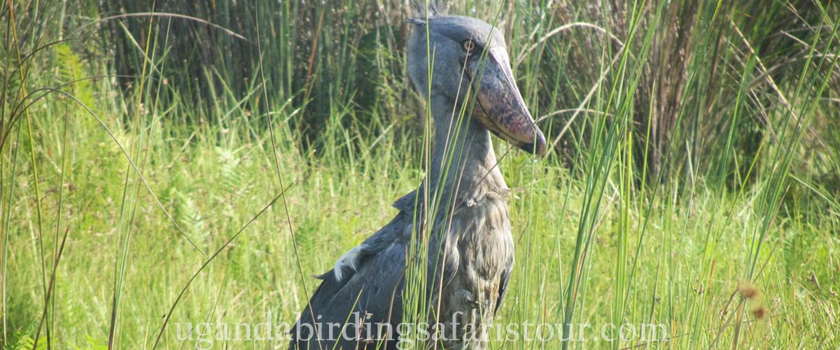 Uganda Birding Safaris Tour shoebill