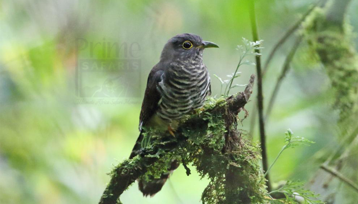 1 day mabira forest bird watching safari