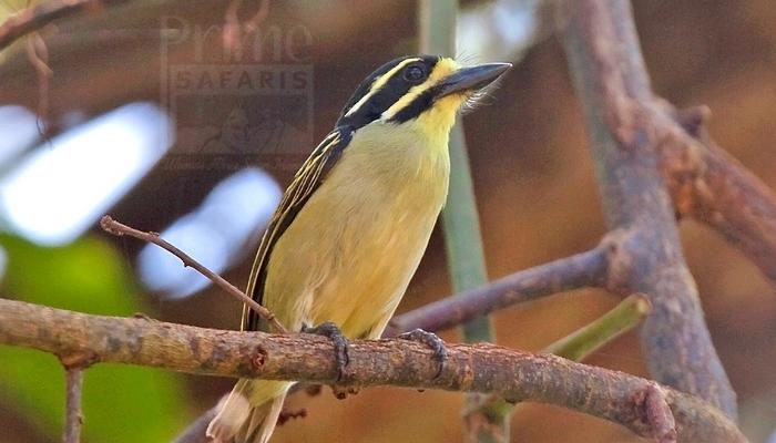 Yellow-Throated Tinkerbird