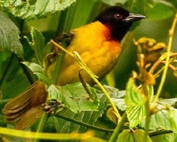 Albertine rift birds
