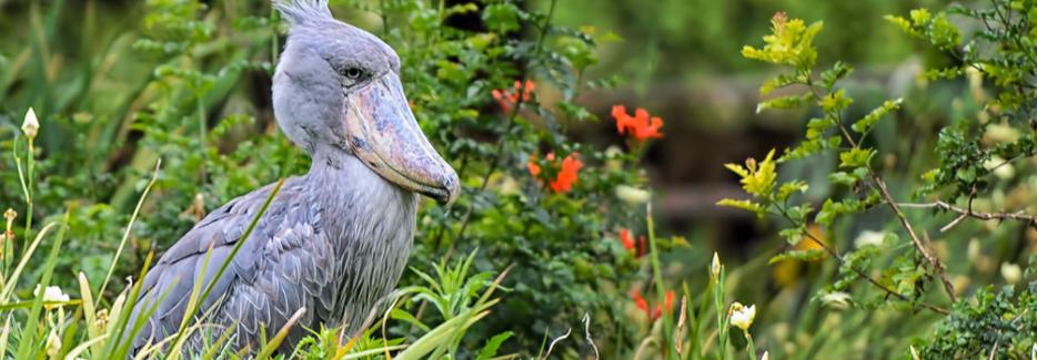 The Rewarding Makanaga Bay Swamp; Shoebill Stork birding spot-Uganda Safari News