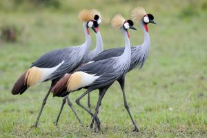 Must see birds on Uganda birding safaris -Uganda Safari News